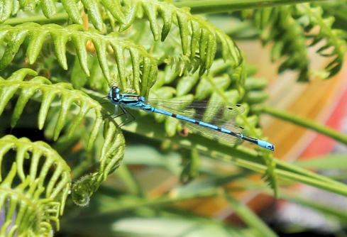 Electric Blue Dragonfly