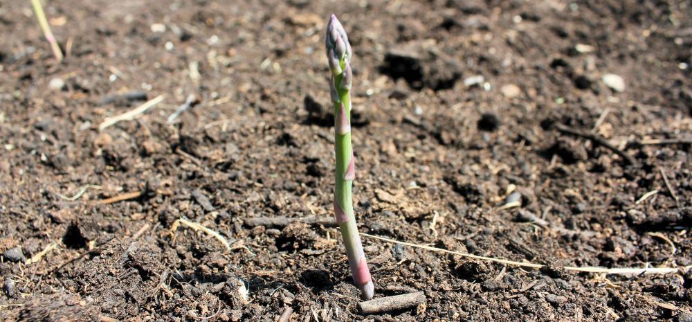 asparagusgrowing