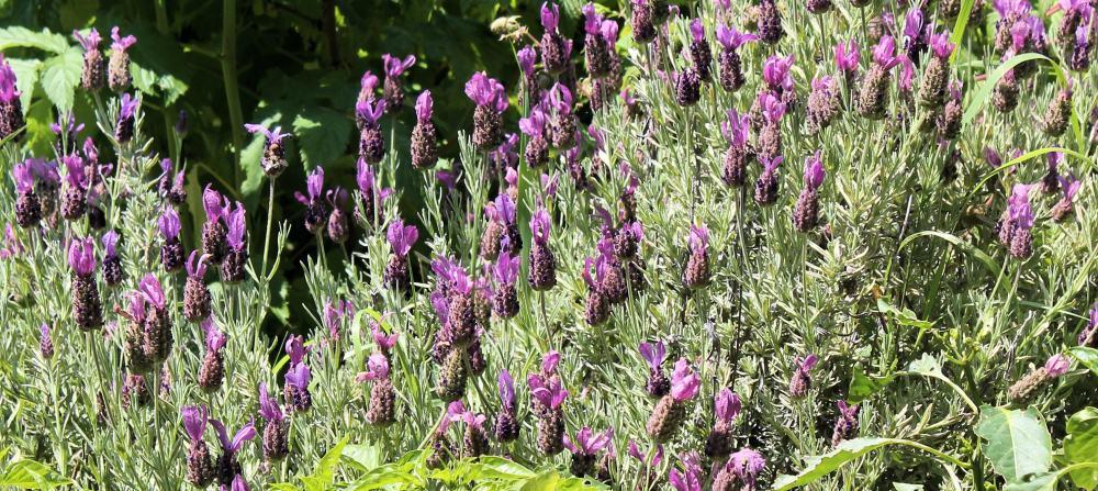 Lavender Hedge