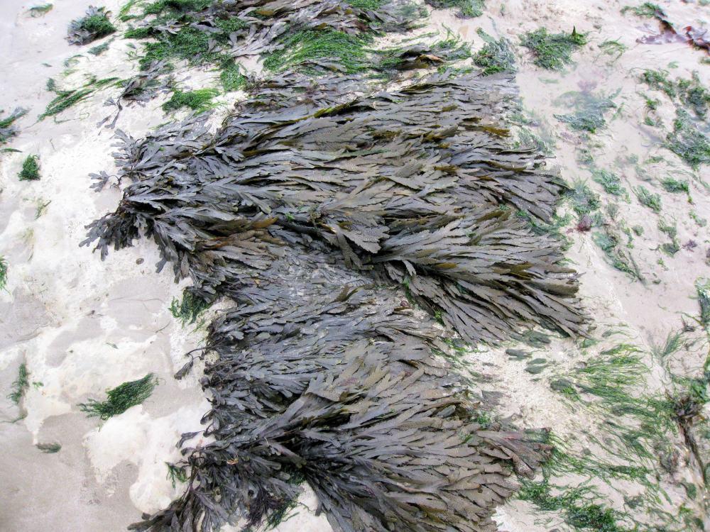 foragingbladderwrackorgutweed