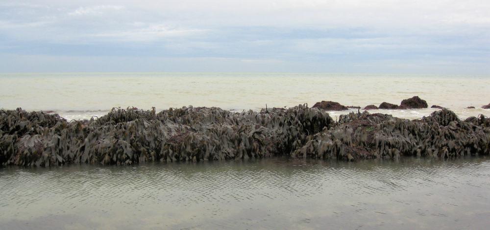 foragingsugar-kelp (2)